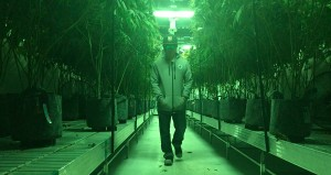 Walking death row at Remedy Cultivation. Harvest day.